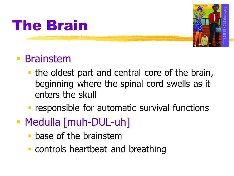The Brain Brainstem Medulla [muh-DUL-uh]